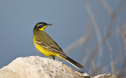 Yellow Wagtail Looking Right Motacilla flava. A yellow wagtail is is perching on a piece of rock looking right royalty free stock photography