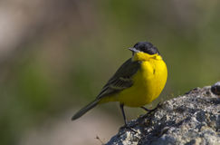 Yellow Wagtail Looking Up. A yellow wagtail is is perching on a piece of rock looking up Stock Images