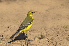 Yellow Wagtail Stock Photos