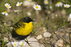 Yellow Wagtail and Daisies. A yellow wagtail is messing around the daisies Stock Photography