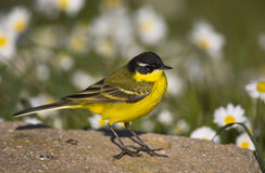 Yellow Wagtail and Daisies. A yellow wagtail is messing around the daisies Royalty Free Stock Photography