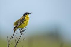 Yellow Wagtail or Motacilla feldegg Royalty Free Stock Photo