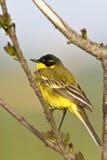 Yellow Wagtail Motacilla flava Royalty Free Stock Image