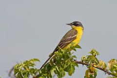 Yellow Wagtail Motacilla flava Royalty Free Stock Photography