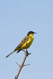 Yellow Wagtail ( Motacilla flava ) Royalty Free Stock Photography
