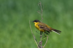 Yellow Wagtail ( Motacilla flava ) Royalty Free Stock Photos