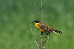 Yellow Wagtail ( Motacilla flava ) Royalty Free Stock Photos