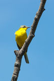 Yellow Wagtail, Motacilla flava Stock Image