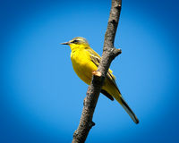 Yellow Wagtail, Motacilla flava Stock Photography