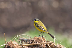 Yellow Wagtail (Motacilla flava) Royalty Free Stock Photography