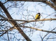 Yellow Wagtail Motacilla flava Stock Photo
