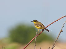 Yellow Wagtail, Motacilla flava Royalty Free Stock Images