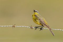Yellow Wagtail, Motacilla flava Royalty Free Stock Image