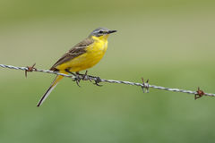 Yellow Wagtail, Motacilla flava Royalty Free Stock Photography