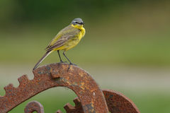 Yellow Wagtail, Motacilla flava. Yellow Wagtail, Motacilla lava sitting on wire Stock Images