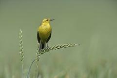 Yellow wagtail,  Motacilla flava Stock Images
