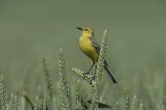 Yellow wagtail,  Motacilla flava Stock Photography