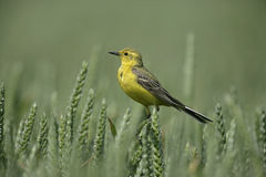 Yellow wagtail,  Motacilla flava Royalty Free Stock Photography
