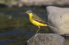 Yellow wagtail,  Motacilla flava Stock Photos