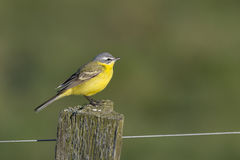 Yellow wagtail (Motacilla flava). Royalty Free Stock Image