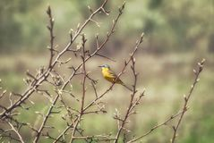 Yellow wagtail Motacilla flava in spring on the branches of a tr. Ee Stock Photo