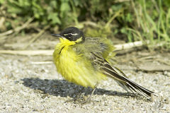 Yellow Wagtail (Motacilla flava superciliata) Stock Photography