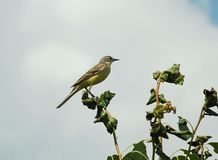 Yellow wagtail on a tree branch against the sky. stock photos