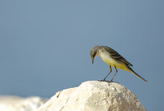 Yellow wagtail nodding its head down Stock Photo