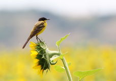 Yellow Wagtail ond sunflower field Stock Image