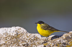 Yellow Wagtail. A yellow wagtail is perching on a piece of rock stock photo