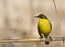 Yellow Wagtail on Reed. A yellow wagtail is is perching on a reed Royalty Free Stock Photo