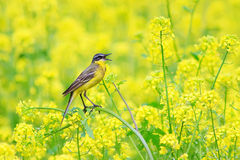 Yellow Wagtail in rape field Royalty Free Stock Photos