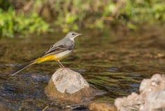 Yellow Wagtail at a river Stock Image