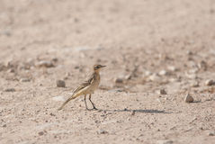 Young yellow wagtail Stock Photo