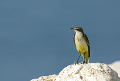 Yellow wagtail on the rock Stock Photo