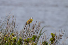 Yellow wagtail singing Stock Images