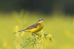 Yellow Wagtail singing on a bright summer meadow. The bird is a  yellow Wagtail singing on a bright summer meadow Royalty Free Stock Photo