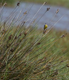 Yellow Wagtail singing on bush. A Yellow Wagtail (Motacilla flava) sings beak wide open on a bush which is characteristic to it's habitat in the marshes and Stock Images