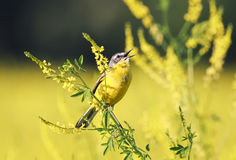 Yellow Wagtail sings on the Golden field of clover in summer. Bird the yellow Wagtail sings on the Golden field of clover in summer Royalty Free Stock Photos