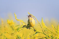 Yellow Wagtail sings the song on the bright summer meadow. Bird the yellow Wagtail sings the song on the bright summer meadow Stock Photos