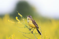 Yellow Wagtail sings the song on the bright summer meadow. Bird the yellow Wagtail sings the song on the bright summer meadow Stock Photography