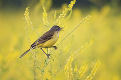 Yellow Wagtail sings the song on the bright summer meadow. Bird the yellow Wagtail sings the song on the bright summer meadow Royalty Free Stock Photography