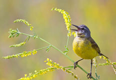 Yellow Wagtail. The yellow Wagtail sings on the summer clover in the meadow Stock Photos