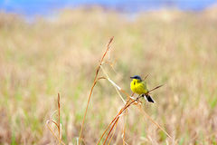 Yellow Wagtail sitting on dry blade of grass Stock Photos