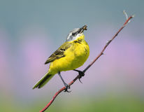 Yellow Wagtail sitting on a meadow on a branch with insect. Bird yellow Wagtail sitting on a meadow on a branch with insect in its beak Royalty Free Stock Photos