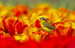 Yellow Wagtail. Sitting on tulips the Netherlands stock image