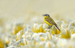 Yellow Wagtail Stock Image