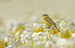 Yellow Wagtail. Sitting on tulips the Netherlands royalty free stock image