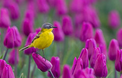 Yellow Wagtail. Sitting on tulips in the Netherlands Royalty Free Stock Photo
