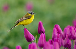Yellow Wagtail. Sitting on tulips in the Netherlands stock photo